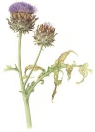 artichokes-lowres