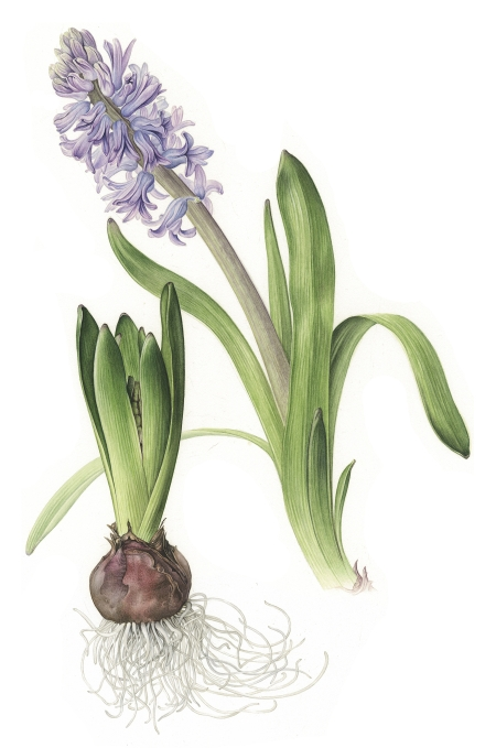hyacinth-lowres