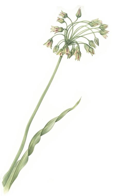 nectaroscordum-lowres