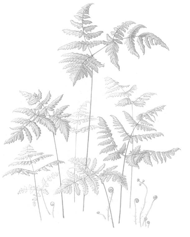 oak-fern-a4a3_1