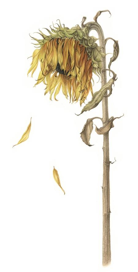 sunflower-lowres