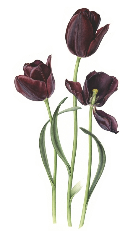 tulips-queen-of-the-night-lowres