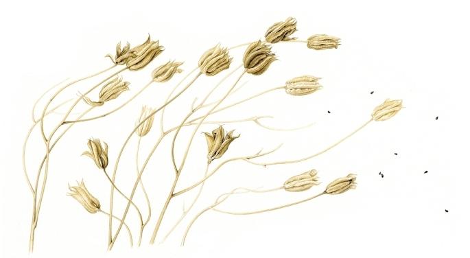 aquilegia-seed-heads