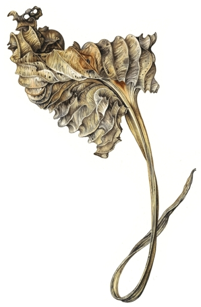 hosta-leaf