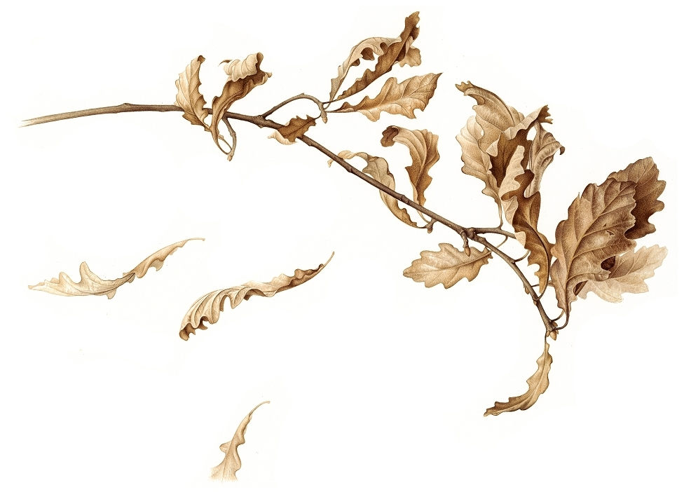 oak-branch