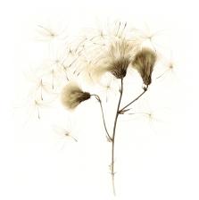 seeding-thistle