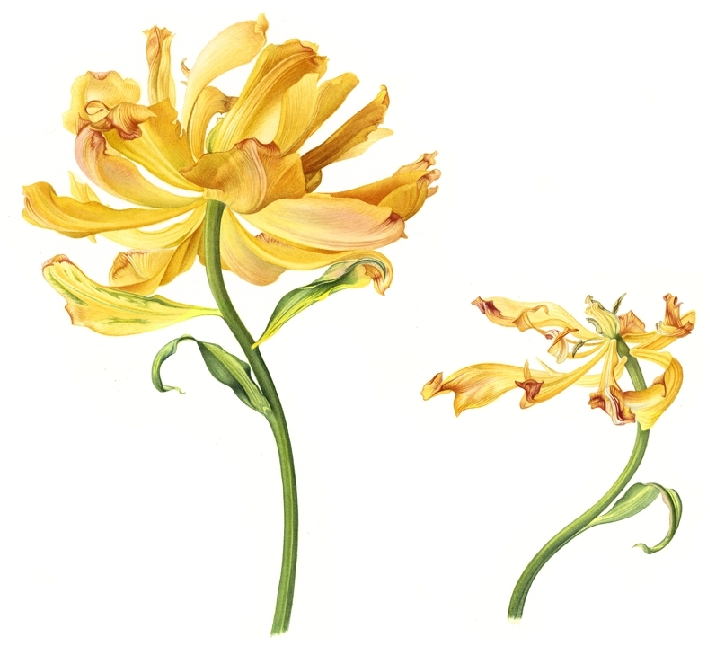 tulip-foxy-foxtrot