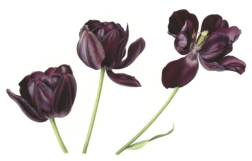 tulip-queen-of-the-night